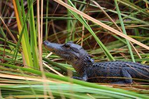 alligator in the Florida Everglades